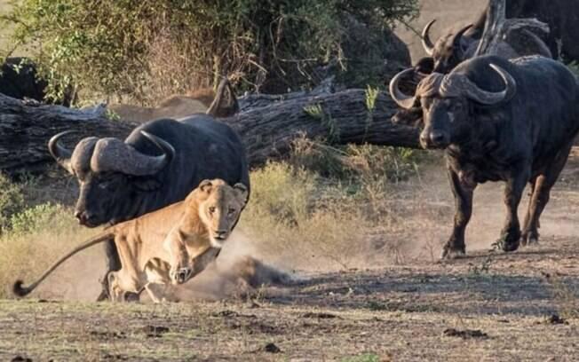 Vídeo mostra búfalos atacando uma leoa