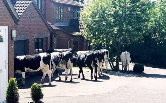 As vacas impediram muitas pessoas de saírem de suas casas e protagonizaram cenas muito incomuns na cidade