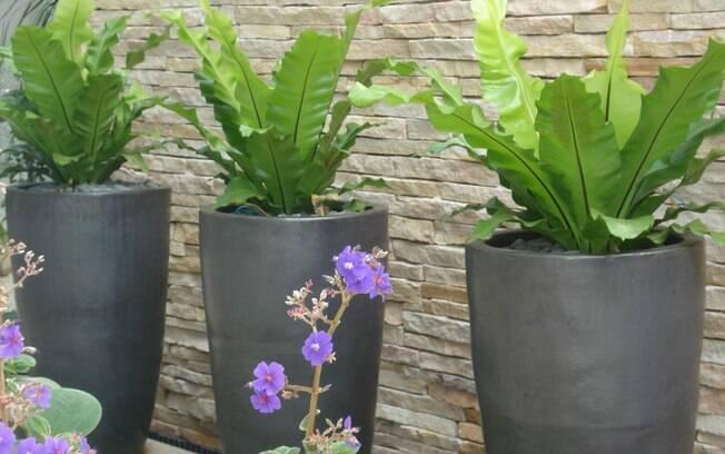 plantas para jardim vertical meia sombra : plantas para jardim vertical meia sombra: para o vaso. Lembre-se de deixá-lo a meia-sombra. Foto: Divulgação