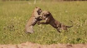 Onças-pintadas brigam para proteger filhotes no Pantanal