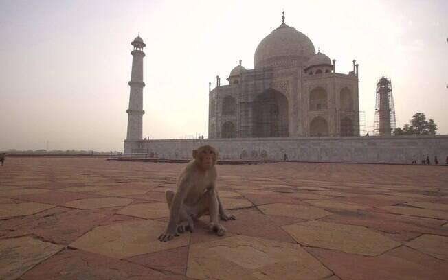 Donald Trump terá que tomar cuidado com macacos no Taj Mahal