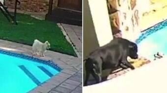 Cãozinho cai em piscina e é salvo por cadela corajosa; assista