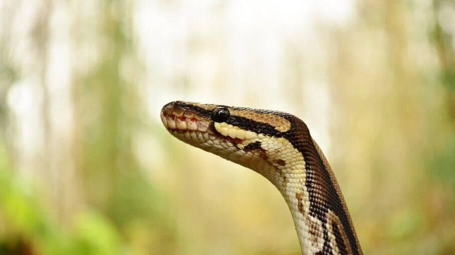 Cobras são infladas até a morte no Vietnã para extração de pele