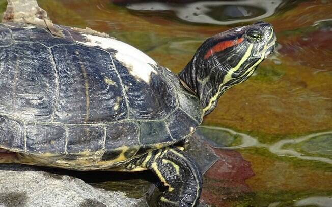 A tartaruga tigre d'agua é um animal que pode ser facilmente comprado