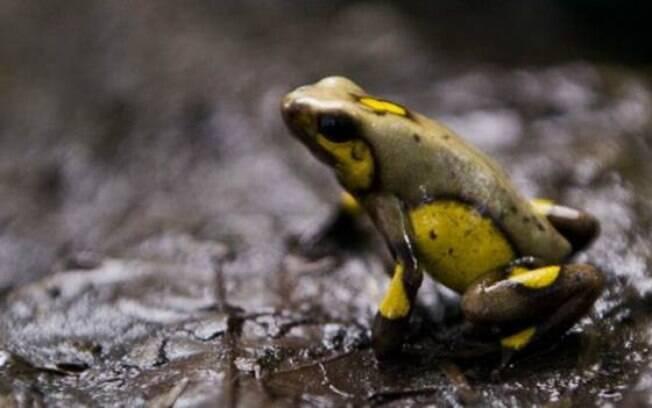 Diversos anfíbios enfrentam ameaça de extinção
