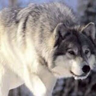 Segundo cientistas a domesticação de animais partiu do lobo cinzento.