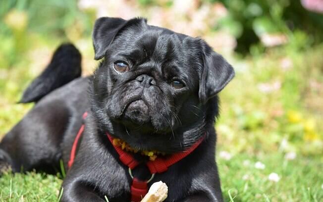 O pug é um cachorro para apartamento que vem conquistando muitos corações