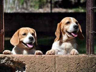 Economia - Belo Horizonte - MG Beagle valorizado. O resgate dos beagles no laboratorio em Sao Paulo inflacionou o mercado. FOTO: FERNANDA CARVALHO / O TEMPO 25.10.2013 ta26011