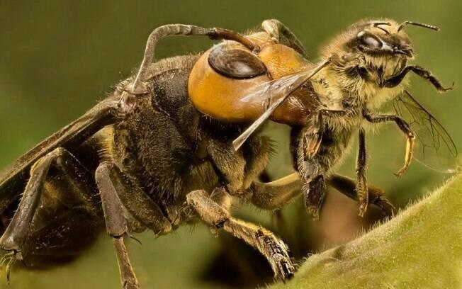 Parasita, vespa atordoa presas para depositar seus ovos no corpo hospedeiro