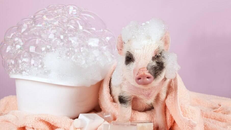 O banho no mini pig pode ser feito de 15 em 15 dias