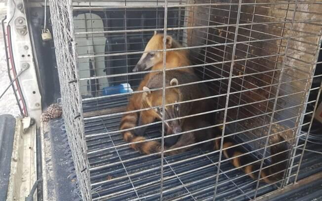 Dois quatis estavam em uma gaiola em condições de maus-tratos