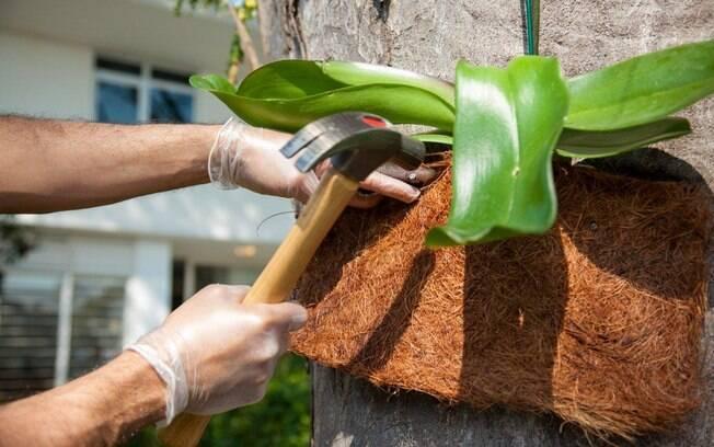 Ao fixar na árvore, bata um prego de cada lado da orquídea. Foto: Edu Cesar/Fotoarena