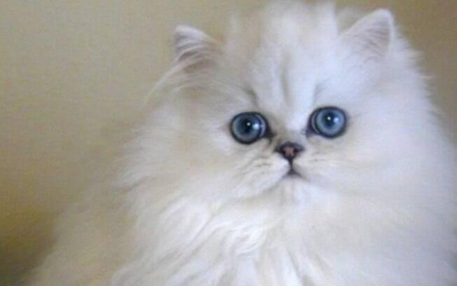 O gato persa é muito tranquilo e companheiro