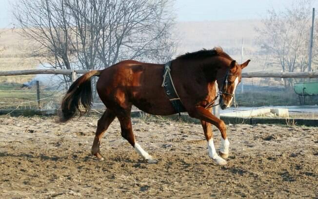 Raça de cavalo: Holstein