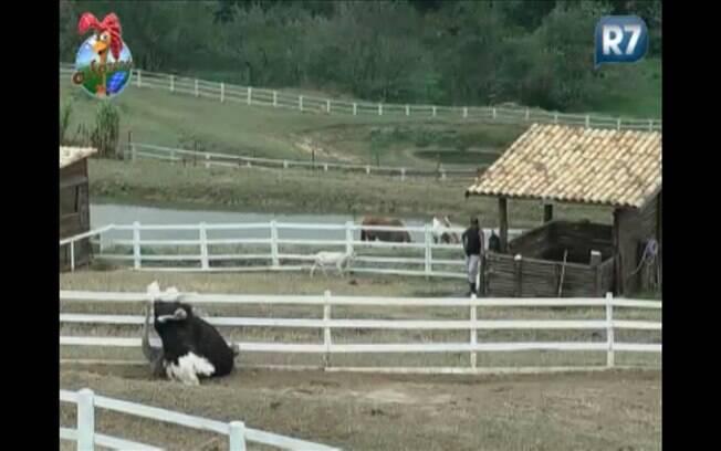 Enquanto Compadre Washington observa, avestruzes acasalam na manhã desta quinta (25)