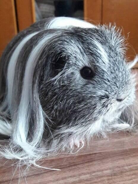 Fotos de porquinhos da índia com cabelos maravilhosos!