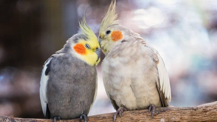 Calopsitas macho e fêmea são capazes de cantar