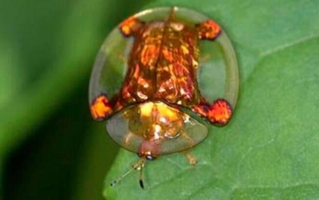 O besouro tartaruga é um animal parcialmente transparente