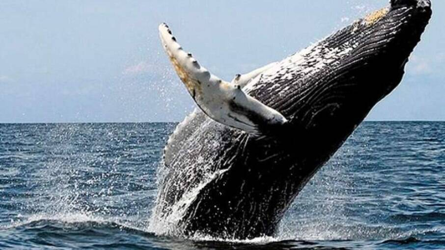 A baleia-jubarte pode chegar a medir 16 metros na idade adulta, com peso na faixa de 35 toneladas.