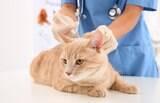 Vacinas para gatos são  importantes para garantir o bem estar da família