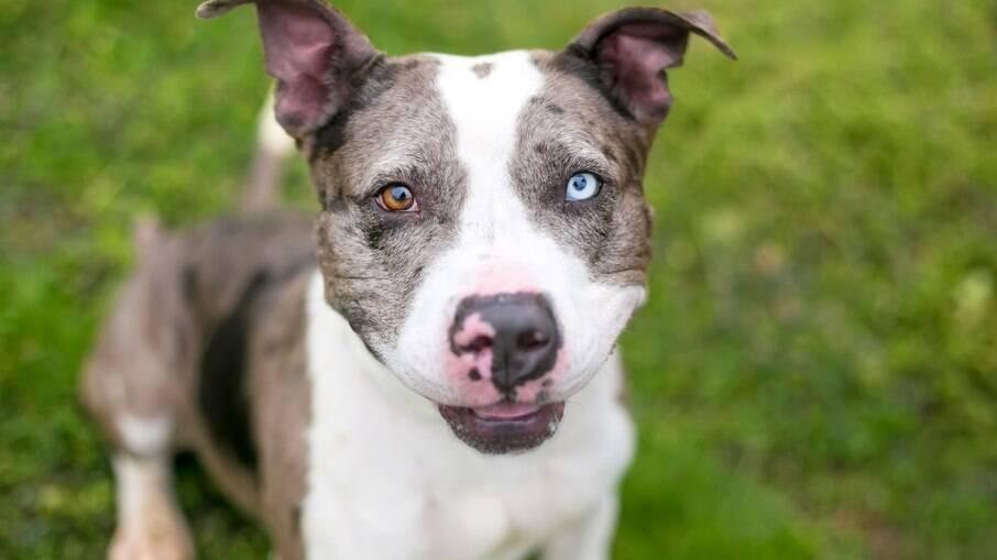 A heterocromia em cães é definida pela herança genética, por isso alguns animais têm e outros não. Além disso, essa condição também não causa graves problemas de visão