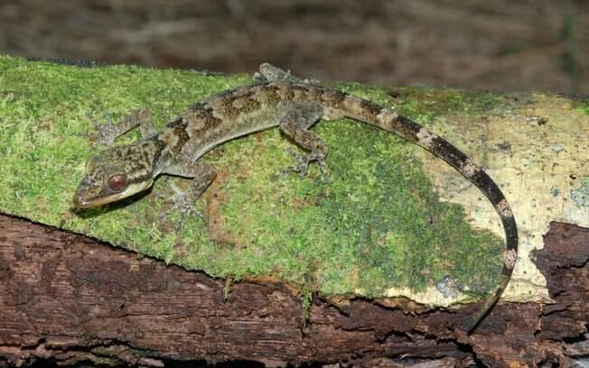 Humanos conseguem imitar viscosidade de lagartixas