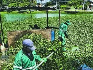 Operários tentam retirar manualmente os aguapés na Pampulha