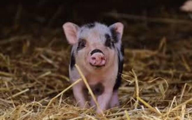 O mini porco também pode ser considerado um animal exótico