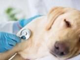 Seu cão está com tosse? Pode ser sintoma de doença