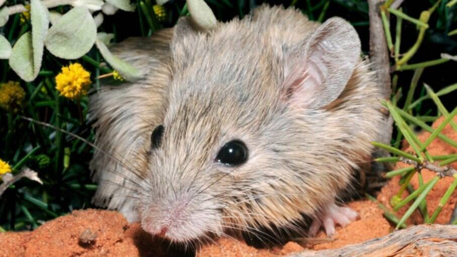 Espécie de rato que acreditava-se estar extinta há mais de 150 anos foi encontrada em ilha na Austrália
