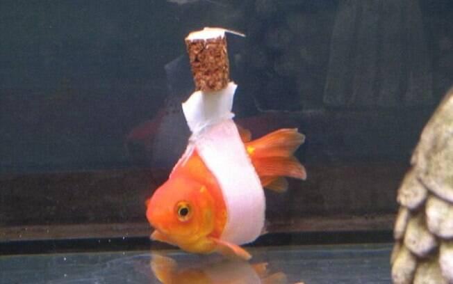 Peixe dourado ganha cadeira de rodas para se movimentar melhor