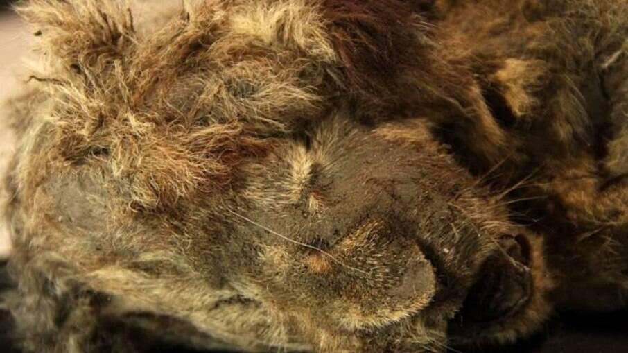 Leão-das-cavernas encontrado na Sibéria