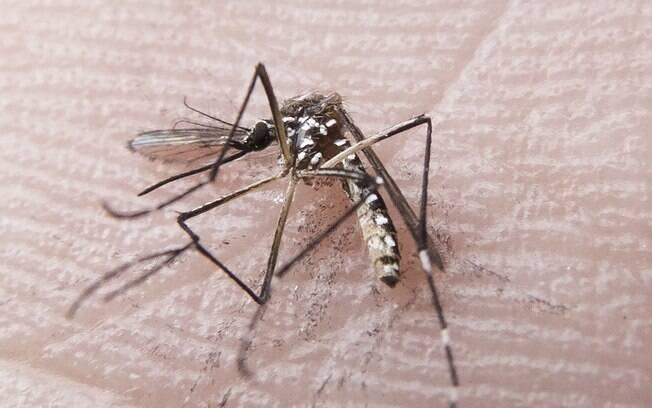 O mosquito Aedes aegypti é o transmissor das três viroses que assustam o País