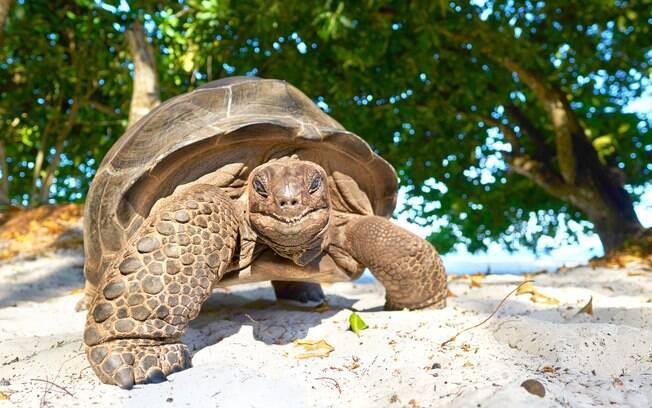 Tartaruga gigante nas ilhas Seychelles
