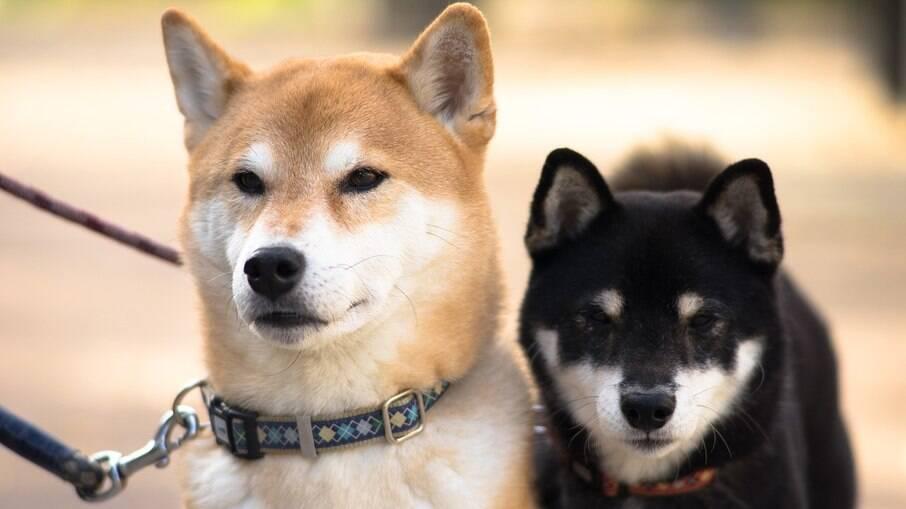 Os cães da raça Shiba Inu quase foram extintos, vitimas da cinomose