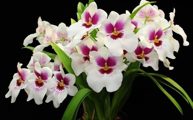 A Miltonia Ceo Apple é uma das espécies de orquídeas que estarão à venda na exposição