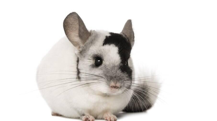 A aparência das chinchilas é uma mistura de hamster com coelho