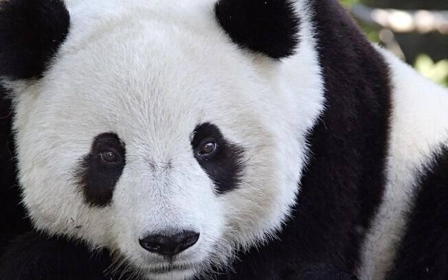 A China está procurando por abraçadores profissionais de pandas!