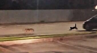 Gatinho de estimação coloca coiote pra correr no Canadá
