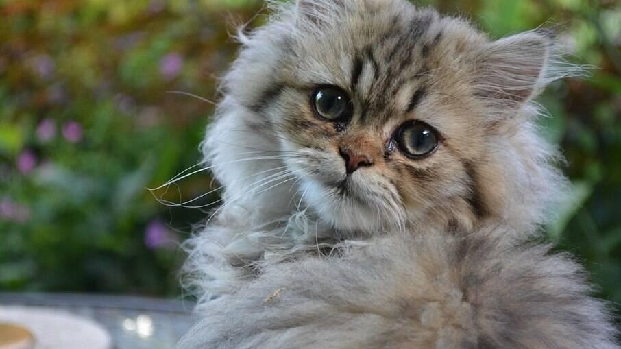 Gato da raça persa