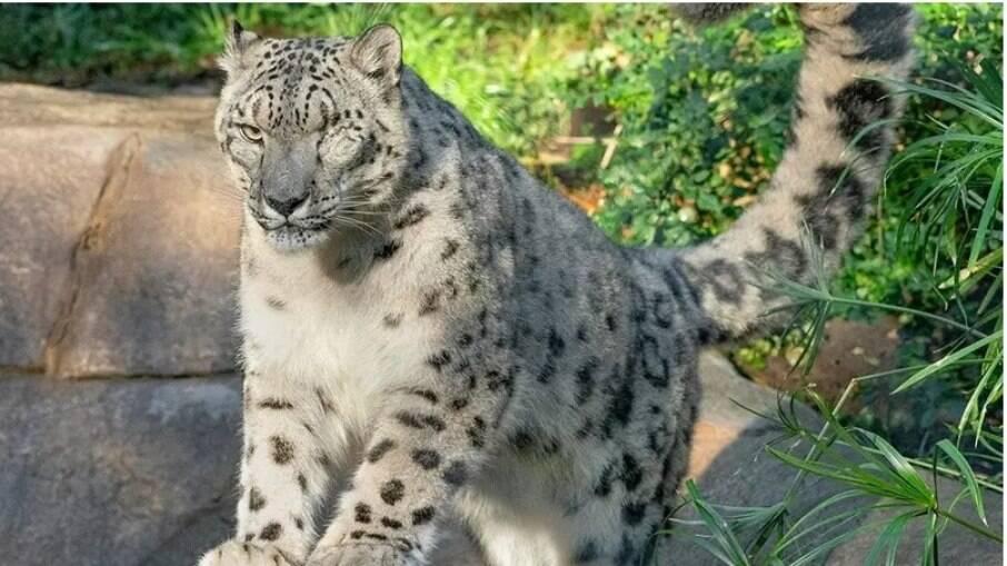 Leopardo-das-neves testa positivo para Covid-19 em San Diego
