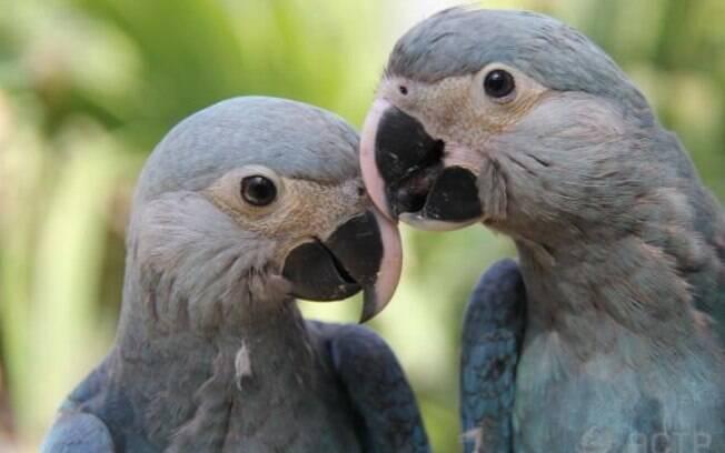 Nascidas de uma fêmea brasileira, que foi levada ao país europeu para reprodução, as ararinhas foram batizadas de Carla e Tiago