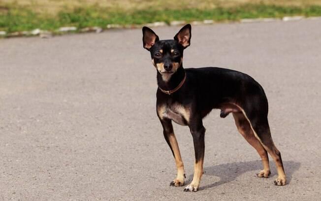 O terrier toy manchester faz parte das raças do Grupo Toy