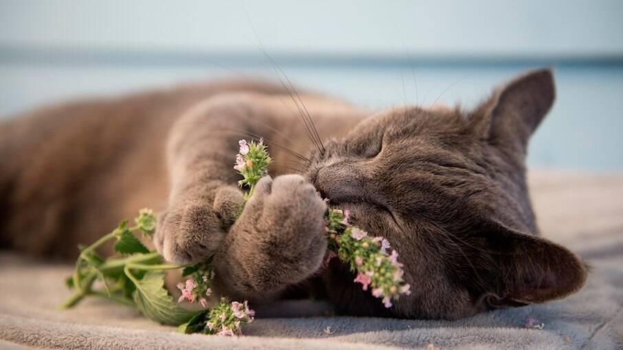 Catnip pode ajudar a combater estresse, ansiedade e não possui contra indicações