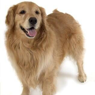 Golden Retriever - undefined