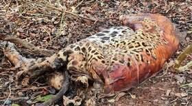 PF investiga mortes de duas onças e outros 18 animais