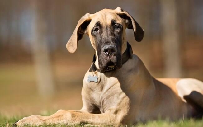 O Dogue Alemão está entre as raças com maior predisposição a Síndrome de Wobbler
