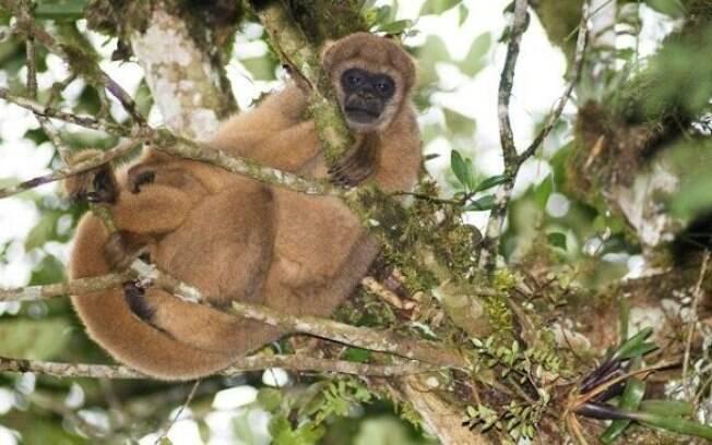 Os macacos estão sendo acusados de serem os transmissores da febre amarela