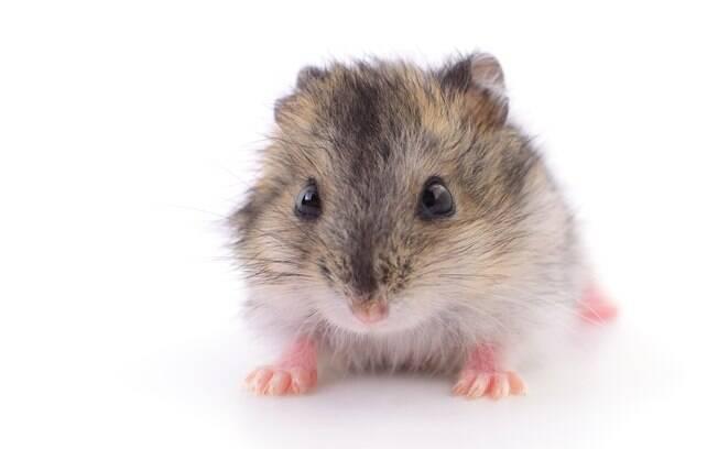 Hamster tem uma boa saúde e raramente fica doente