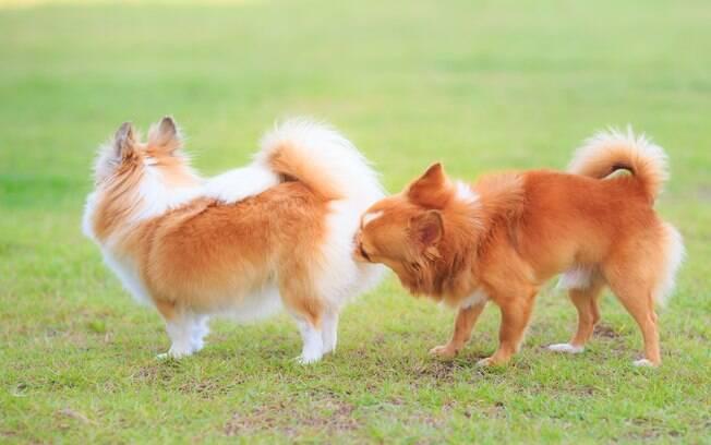 Quando chega a fase de reprodução dos cães, uma das principais dificuldades dos donos é controlar os impulsos sexuais do pet